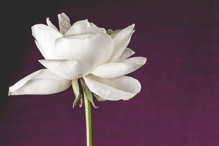 Open white rose with magenta background shallow DOF photo