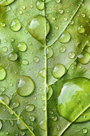 droplet: Macro view of raindrops on a large vibrant green leaf shallow DOF Stock Photo