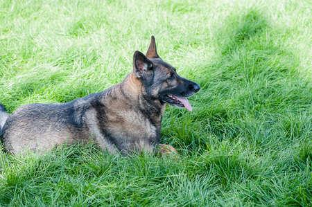 perro policia: Vista de cerca de pastor alemán en la mentira en vibrante hierba verde de verano DOF bajo