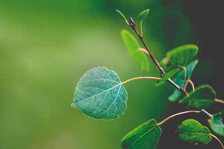 aspen leaf: Macro view of vibrant, green aspen leaf, shallow DOF