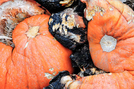rotting: Macro view of rotting pumpkins in a garden compost pile, shallow DOF