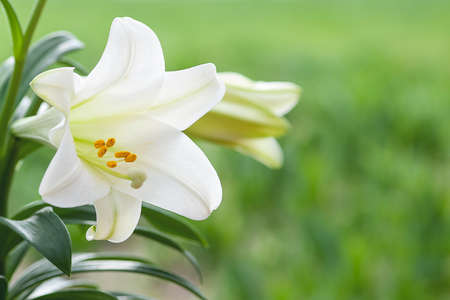 easter lily: Macro view of white lily flowers with vibrant green grass background, shallow DOF
