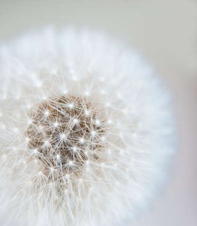 fuzz: Macro view of a dandelion head with gradient background, shallow DOF