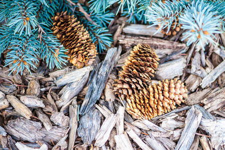 bark mulch: Close-up view of three pine cones on rustic mulch surface with evergreen branches, shallow DOF Stock Photo