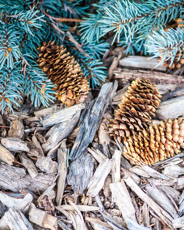 mulch: Close-up view of three pine cones on rustic mulch surface with evergreen branches, shallow DOF Stock Photo