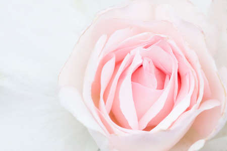 rosas blancas: Macro view of soft pink rose background, shallow DOF