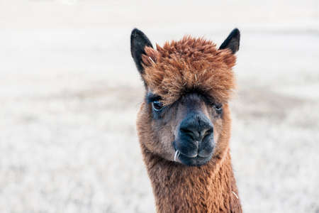 geld: Close-up view of a brown alpaca with a winter field background