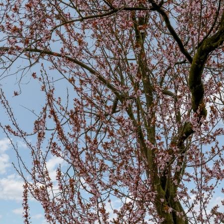 prunus cerasifera: cherry plum in bloom - Prunus cerasifera Stock Photo