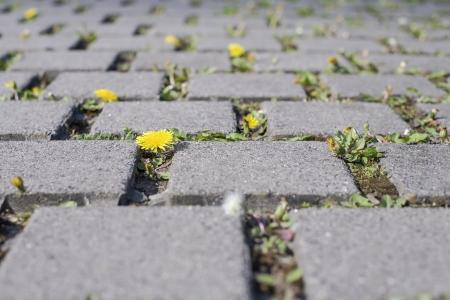 dandelions conquer a parking lot