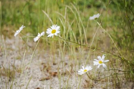 daisys: daisys and sand