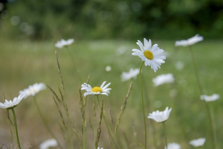 daisys: daisys on a meadow in june