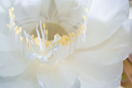 cereus: blossoms of the so-called queen of the night