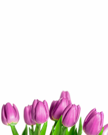 Border of beautiful fresh purple spring tulips at the bottom of a vertical frame on a white  photo