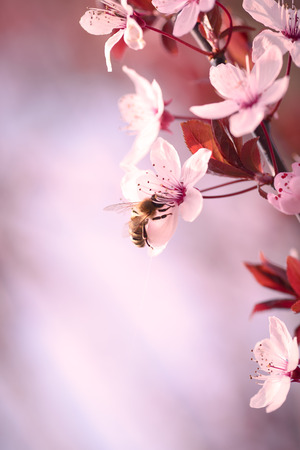Pflanzen: Close up of a branch covered in pretty dainty pink cherry blossom symbolic of spring growing outdoors on a Japanese flowering cherry tree, one of the prunus family Stock Photo