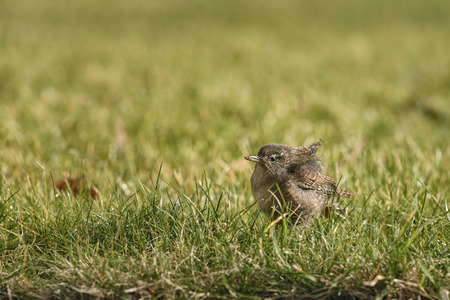 troglodytes: wren sitting in grass with an insect in its beak and wind going through its feathers, latin name is Troglodytes troglodytes