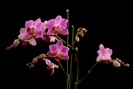floristry: Sprays of deep pink or magenta phalaenopsis orchids, a popular cultivated flower for use in floristry, symbolic of luxury or spa concepts, over a dark background