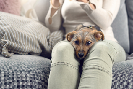 Contented little dog sleeping on the lap of a young woman sitting on a sofa looking intently at the camera with its chin between her knees Stock Photo