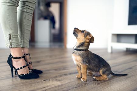 Lage hoek weergave van een schattige, lieve, kleine hond, zittend op een houten vloer, binnen, staren omhoog bij zijn vrouwelijke eigenaar die modieuze hoge hakken heeft
