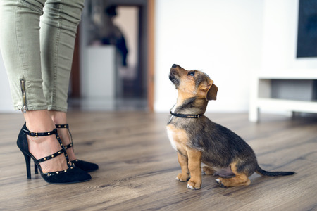 Low angle view of a cute loving little dog sitting on a wood floor indoors staring up at its female owner who is wearing stylish high heeled shoes Stock Photo