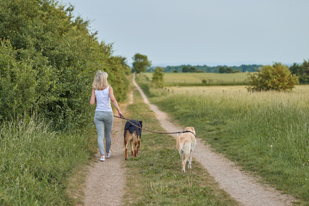 Young blond woman walking away from the camera with her two dogs along a farm track through agricultural fields