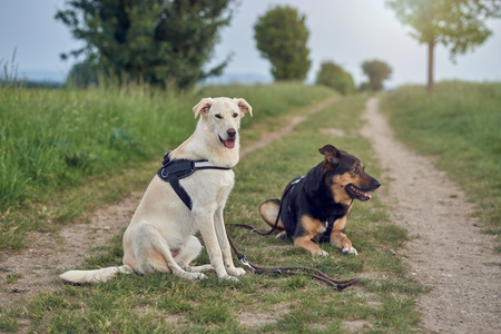 Portrait of two large dogs wearing harnesses resting in rural road during walk 스톡 콘텐츠