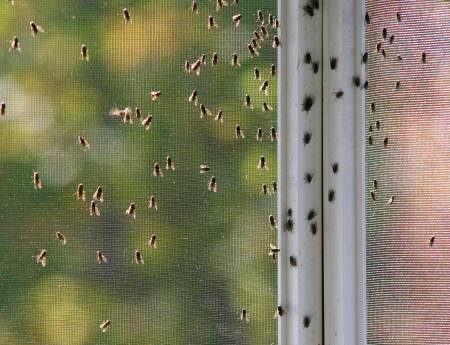 Grimy houseflies congregating on a screen