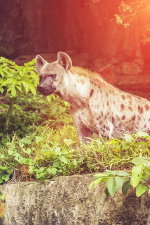 spotted: Spotted hyena Stock Photo