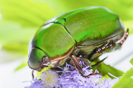 Scarab beetle or Anomala grandis green little bug insect macro