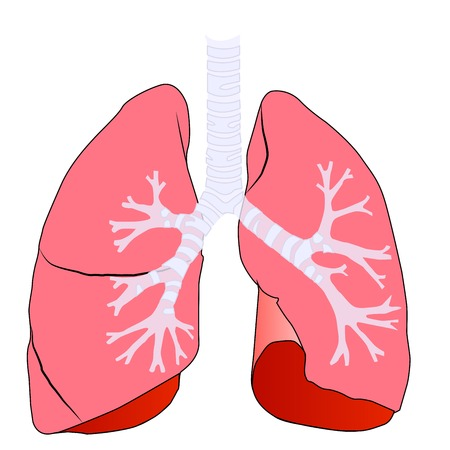 anatomy left and right lung human vector Illustration