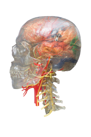 model anatomy skull nerve and vessels human isolated