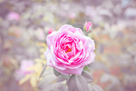 close up pink rose beautiful flower and pink tone Stock Photo