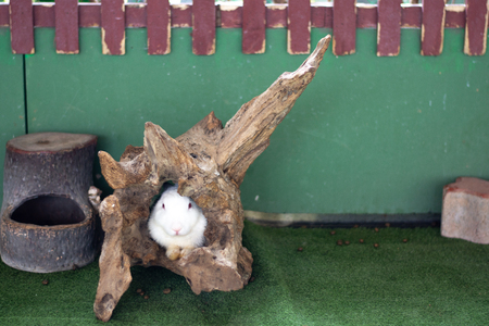 little white rabbit in the old timber