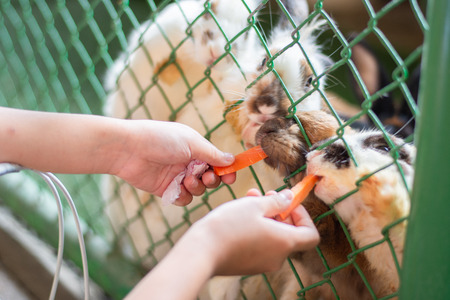 hand little girl give carot to rabbit in the cage