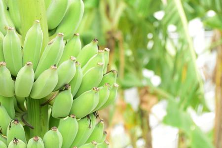 grüne Bananenfrucht natürlicher gesunder Unschärfehintergrund