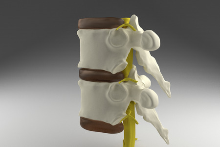 3d spinal cord anatomy bone spine human