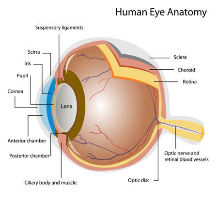 Components of a human eye. Illustration about Anatomy and Physiology
