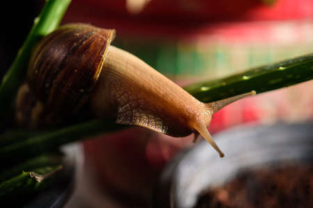Snail Muller gliding on the wet leaves. Large white mollusk snails with brown striped shell, crawling on vegetables Standard-Bild