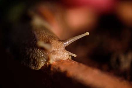 Snail Muller gliding on the wet leaves. Large white mollusk snails with brown striped shell, crawling on vegetables macro lens Standard-Bild