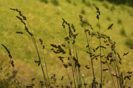 spikelets: Spikelets Greens Grass Summer Sun