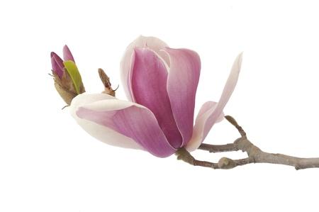 magnolia tree: beautiful yulan isolated on white background Stock Photo