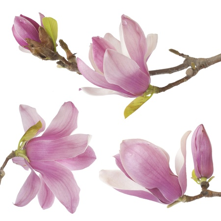 magnolia flower: beautiful yulan isolated on white background Stock Photo