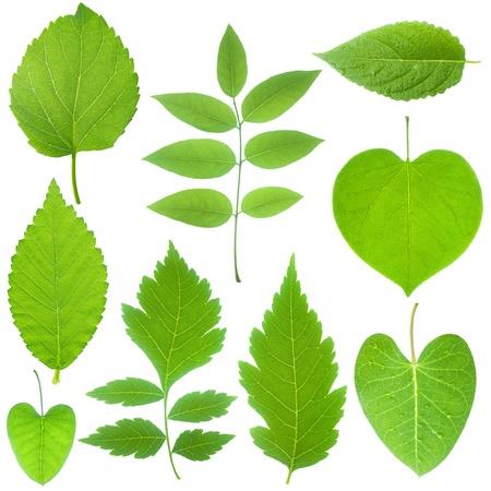 feuille arbre: collection de feuilles vertes