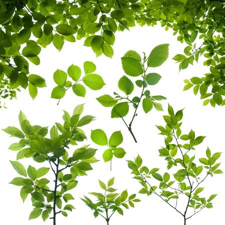 支店: 白で隔離される緑の葉と木の枝 写真素材