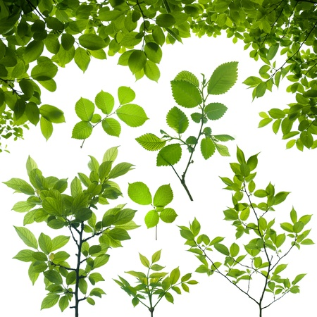 tree branch with green leaves isolated on white