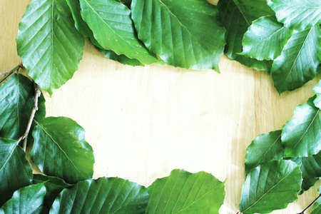 Bright green beech leaf frame over beech wood background photo