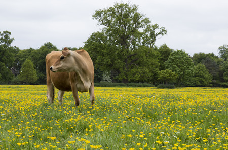 jersey cattle: Dairy Cow in a Field of Buttercups