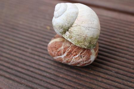 animal vein: stone snail