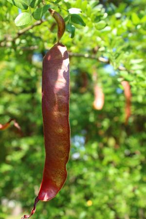 catalpa: Catalpa fruits are like green beans Stock Photo