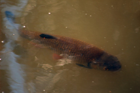 marinelife: Fish in the river chub Stock Photo
