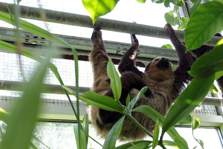 oso perezoso: perezoso colgando